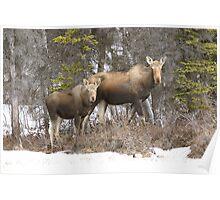 Moose cow & Calf (Alces alces) Poster