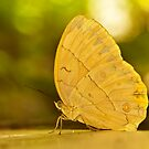 big butterfly by davvi