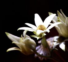 North Head Manly - Flannel Flowers in colour by miroslava