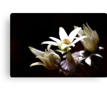 North Head Manly - Flannel Flowers in colour Canvas Print