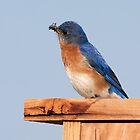 Eastern Bluebird by Delmas Lehman