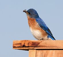 Eastern Bluebird by Delmas Lehman