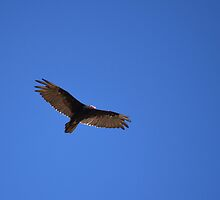 Turkey Vulture Soaring by DWMMPhotography