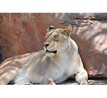 lioness 2  Photographic Print