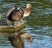 Ducks On The Lake At Mangerton Mill, Dorset UK by lynn carter