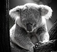 Sleeping Koala Bear by masterjasonwebb