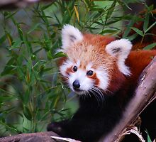 Red Panda by Danielle  Miner