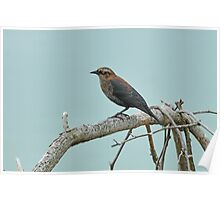 Rusty Blackbird - Uncommon & Declining Poster