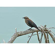 Rusty Blackbird - Uncommon & Declining Photographic Print