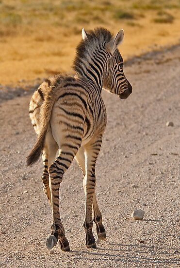 Zebra foal with side-lighting by Konstantinos Arvanitopoulos