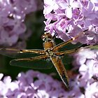 Golden Dragonfly by jmc1313
