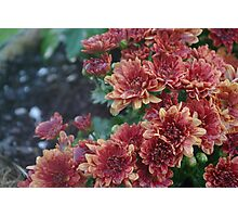 The Blooming Chain of Mums Photographic Print