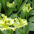 Tulipa 'Green Jay' by bubblehex08