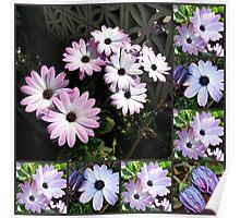 Pretty Cape Daisies Collage Poster