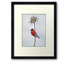 Flame Robin on a Thorny Perch Framed Print
