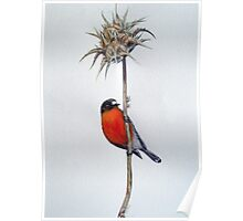 Flame Robin on a Thorny Perch Poster