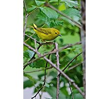 Warbler Photographic Print