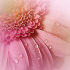 Soft Pink Gerbera by edesigns14