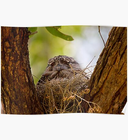 The New Frogmouth Nest Poster