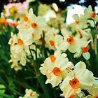 Daffodils  by Dani LaBerge