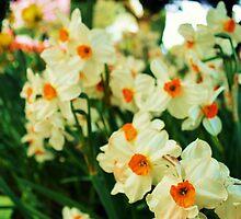Daffodils  by Danielle Morin