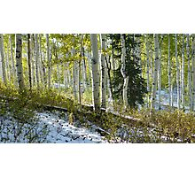 Aspen Highlights with Pine in Snow Photographic Print