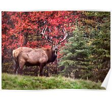 Elk Country Autumn Poster