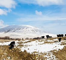 Welsh Blacks on Snowy Mountains by Heidi Stewart