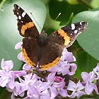 Butterflies are Free:  Red Admiral 2 by jmc1313