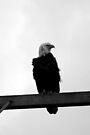 bald eagle on grey windy day b&w by dedmanshootn