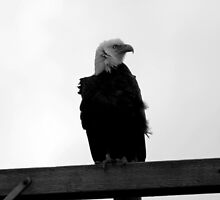 bald eagle on grey windy day b&w by dedmanshootn