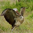 YES, I AM THE LARGEST FLYING BIRD! ~KORI BUSTARD – Ardeotis kori – GOMPOU  by Magaret Meintjes