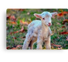 Newborn Lamb Canvas Print