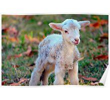 Newborn Lamb Poster