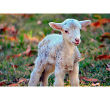 Newborn Lamb Photographic Print