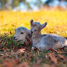 Twin Lambs by Bami