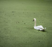 A Swan in Murky Water by EdwardKay