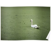 A Swan in Murky Water Poster