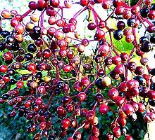 Elderberries by Fara