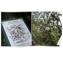 Leatherwood Flowering in World Heritage Area Poster
