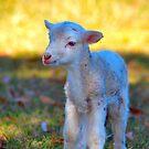 Lamb by Bami