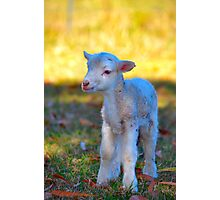 Lamb Photographic Print