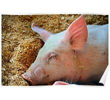 Sleepy Pig Poster
