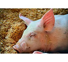 Sleepy Pig Photographic Print