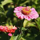 Pink Zinnia by Linda  Makiej