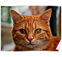 Close Up Ginger Cat Poster