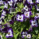 Pansy by Desaster
