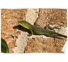 Curious Anole Poster