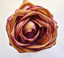 Dying Rose by appfoto