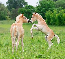 Haflinger foals playing by Katho Menden